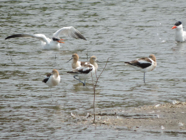American Avocets and Caspian Terns
