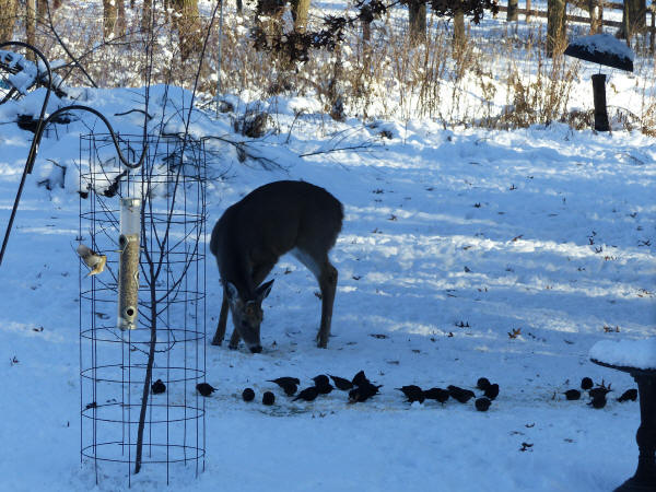Brown-headed Cowbirds and deer