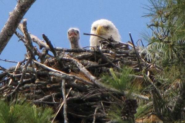 Eagle and chick
