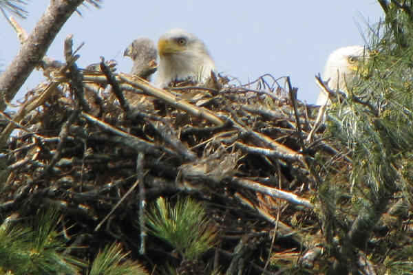 Bald Eagle parents and chicks