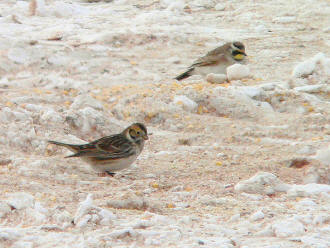 Lapland Longspur and Horned Lark
