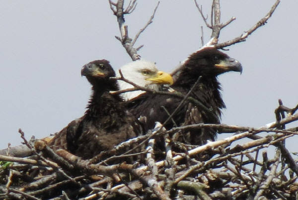 Mooseheart Bald Eagles