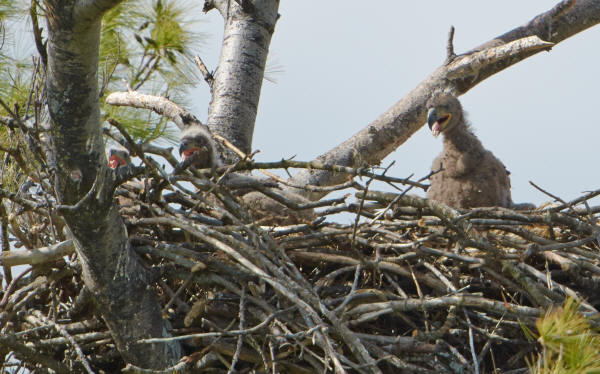 Mooseheart Eaglets