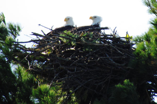 Mooseheart eagles try out the new nest