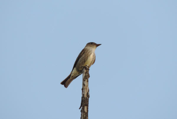 Olice-sided Flycatcher