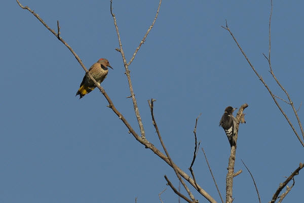 Immature Red-headed Woodpecker and Northern Flicker